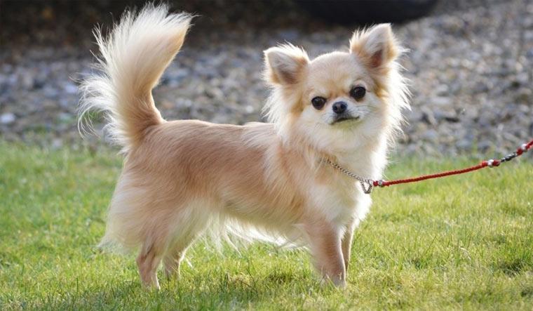 Самые маленькие породы собак — топ 10