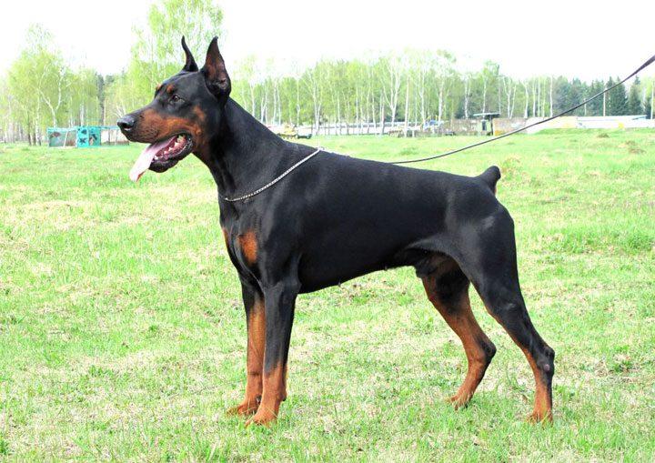 Топ 10 самых опасных пород собак