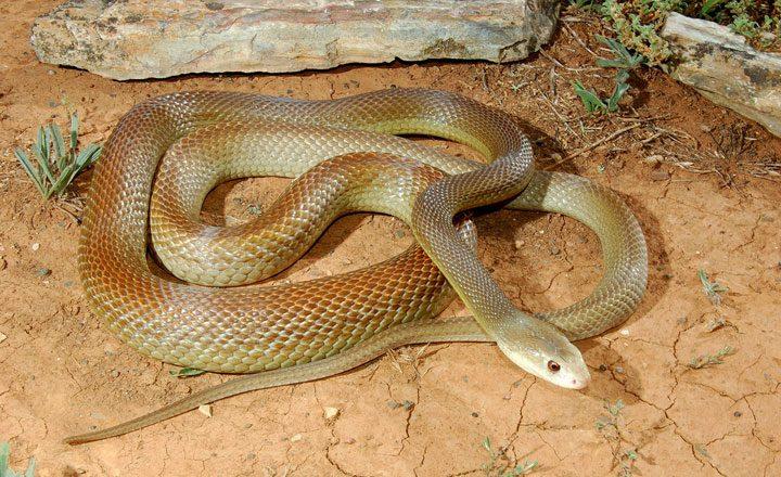 Жестокая-змея