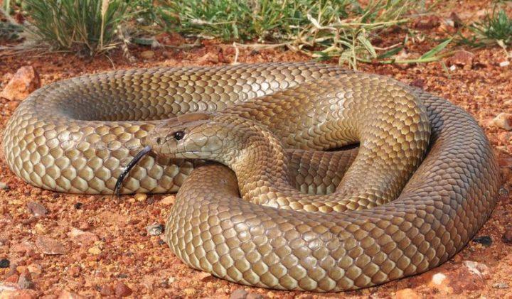 _Сетчатая-коричневая-змея