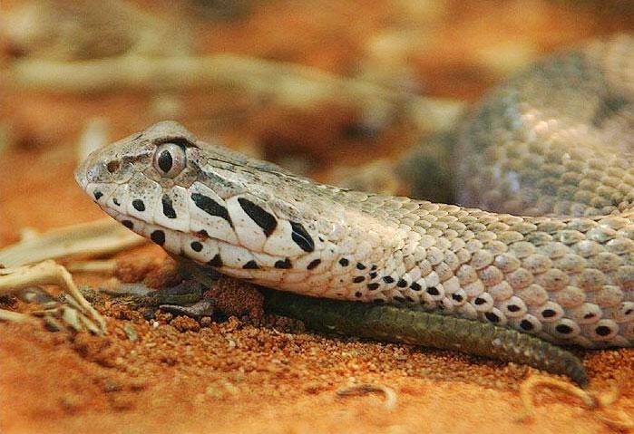 Смертельная-змея