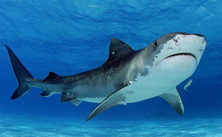 Тигровая акула