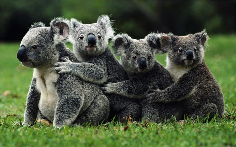 Красивое животное: коала