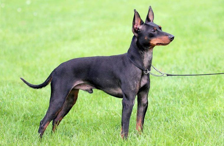 Маленькая порода собак - Английский той-терьер