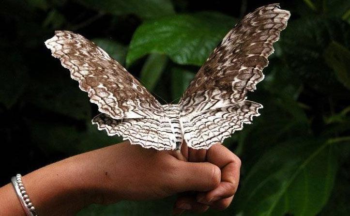 Бабочка Агриппина