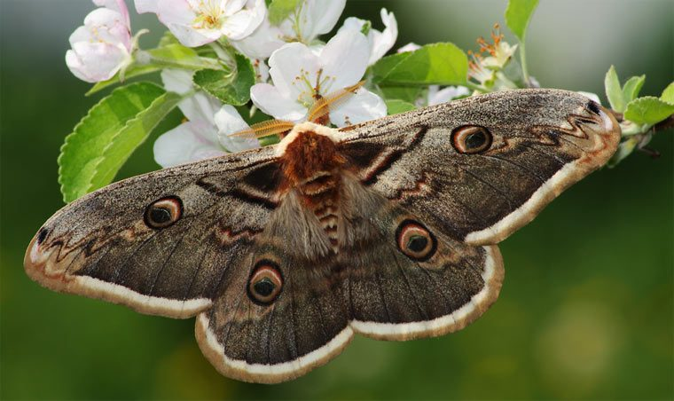 большая ночная бабочка