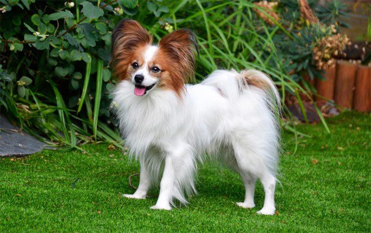 Самые маленькие породы собак: Папильон