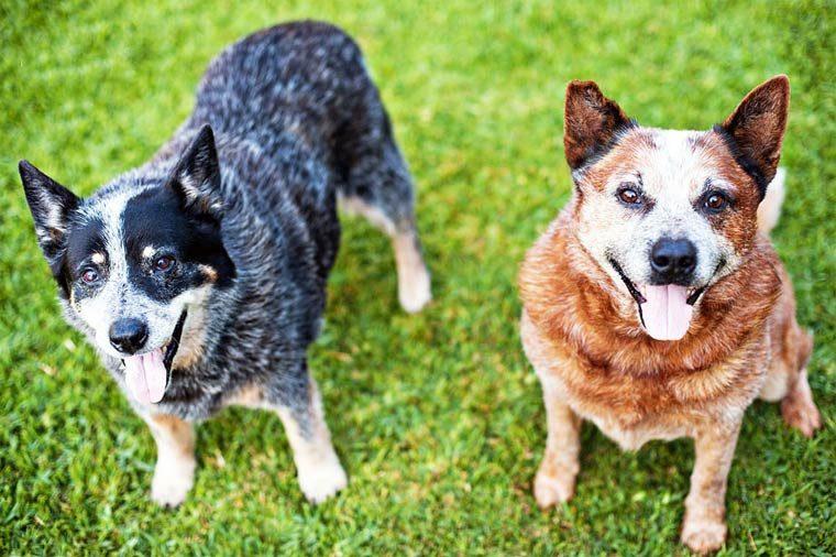 Умные породы собак