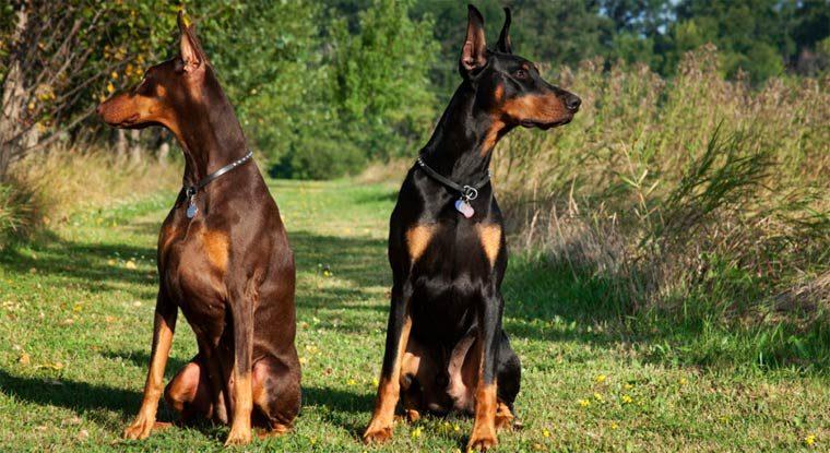 Умная порода собак: доберман